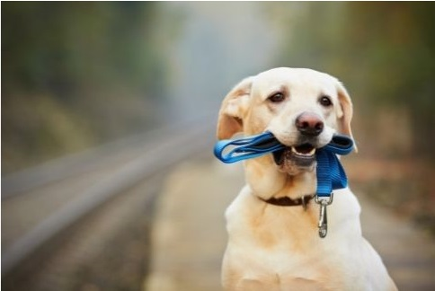 Labrador holding dog leash in his mouth